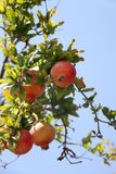 Branch with ripe pomegranate. A vertical picture royalty free stock photography
