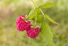 Branch of ripe raspberries Royalty Free Stock Images