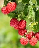 Ripe raspberries in a garden Stock Photos