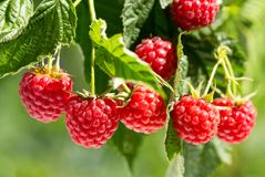 Ripe raspberries in a garden Royalty Free Stock Images