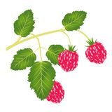 Branch of the ripe raspberry Stock Photos