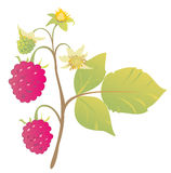 Branch with ripe raspberry berries Stock Photo