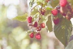 Branch of ripe raspberry Stock Photos