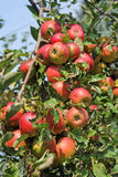 Branch with ripe red apples Royalty Free Stock Image