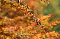 A branch of ripe red barberry with a web on it on the blurred fall background