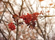 Branch of ripe red berries of Kalina on the cloudy sky royalty free stock photos