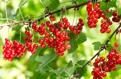 Ripe red currant in a garden Stock Photography