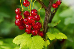 Branch of ripe red currents with leaves Royalty Free Stock Images