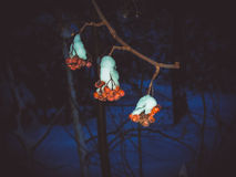 Branch of ripe red Rowan sheltered snow cold Stock Images