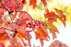 Branch of ripe red viburnum with berries in autumn. Image branch of ripe red viburnum with berries in autumn royalty free stock photography