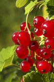 Branch of ripe redcurrant berries Royalty Free Stock Images