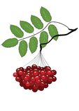 The branch of ripe Rowan Royalty Free Stock Photography