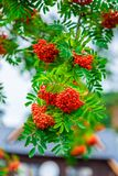 A branch of a ripe rowan close up. Shooting outdoors Stock Photography