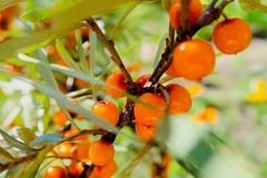 Branch of ripe sea-buckthorn berries. Ripe orange sea buckthorn berries on a branch with green leaves. Sea buckthorn on a tree clo stock photo