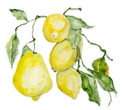 Branch of ripe sour lemons. Isolated. Watercolor painted handmade illustration Stock Photos