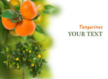 Branch of ripe tangerine Stock Images