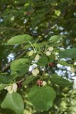 Morus alba fruits. Branch with ripe and unripe fruits of Morus alba tree royalty free stock photos