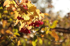 Branch of ripe viburnum. Nature of Kamenna Yaruga Kharkiv region Stock Images
