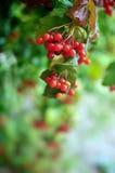 Branch of ripe viburnum Stock Image