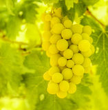 Branch of ripe white grape Royalty Free Stock Photo