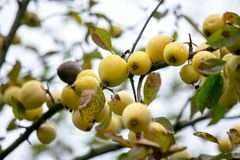 Branch with ripe yellow apples royalty free stock photos