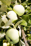 Branch of ripening apples Royalty Free Stock Photography