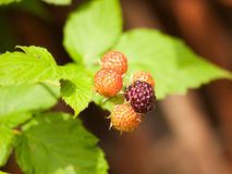 Branch of ripening blackberries with leaves - Rubus plicatus Stock Image