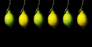Branch with the ripening lemon Stock Image