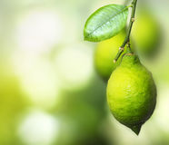 Branch with the ripening lemon Stock Photography