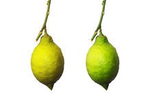 Branch with the ripening lemon Royalty Free Stock Photos
