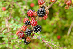 Branch of ripening wild blackberries. Selective focus Royalty Free Stock Photo
