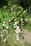 Branch of Robinia pseudoacacia with racemes of white flowers. Branch of Robinia pseudoacacia tree with racemes of white flowers Stock Image