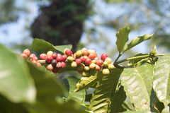 Branch of robusta coffee beans, Java island. Royalty Free Stock Image
