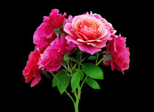 A branch of rose Royalty Free Stock Photo