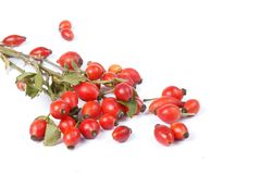 Branch of rose hip Royalty Free Stock Photography