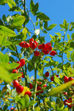 Branch of rose hip Stock Photo