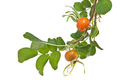 Branch of rose hip isolated on white. Branch of rose hip with leaves isolated on white background Stock Images