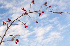 Branch of Rose Hip or Rose Haw Stock Photos