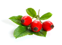 The branch of rose hips Stock Photography