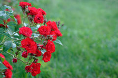 A branch of a rose with red flowers and buds in the summer seaso Stock Photos