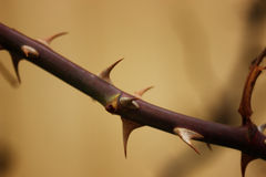A branch of a rose with thorns closeup. Approximation of spring Stock Photos