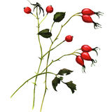 Branch rosehip berries Royalty Free Stock Photo