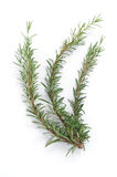 Branch of rosemary Stock Photography