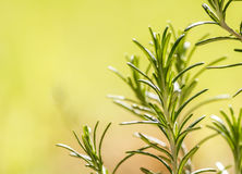 Branch of Rosemary, aromatic herb Stock Photo