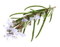 Branch of rosemary with flowers. On the white background (Rosmarinus officinalis L Stock Image