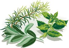 Branch of rosemary, sage and a sprig of basil. Branch of rosemary, sage leaves and a sprig of basil Stock Photos