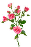 Branch of roses Royalty Free Stock Image