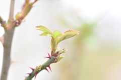 Branch of roses. First leaves on a branch of roses Royalty Free Stock Photography
