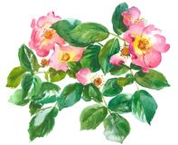 Branch of roses. Branch of pink rose and rosebuds, watercolor, drawing on paper royalty free illustration