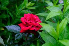 Branch of roses and rain drops Royalty Free Stock Image